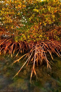 red mangrove, rhizophora mangle, prop roots, keys, florida, florida keys, south florida, nature, photography