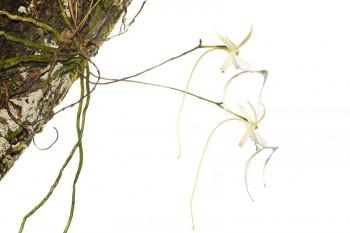 Ghost Orchid, Polyrrhiza lindenii