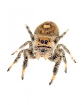Phidippus regius, regal jumping spider
