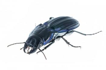 Ground Beetle, Pasimachus marginatus