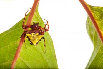 Verrucosa arenata, arrowhead spider