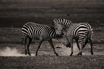 Equus quagga burchellii, burchell's zebra, lake nakuru, kenya, africa