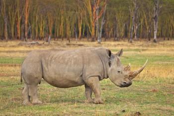 White Rhino, Ceratotherium simum, lake nakuru, kenya, africa