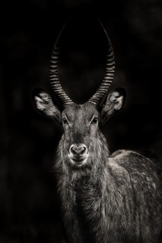 waterbuck, Kobus ellipsiprymnus, antelope, lake nakuru, kenya, africa