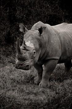 Ceratotherium simum, white rhino, lake nakuru, kenya, africa