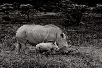 Ceratotherium simum, baby white rhino, lake nakuru, kenya, africa