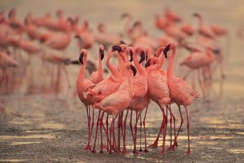 Phoenicopterus minor, lesser flamingo, lake nakuru, kenya, africa