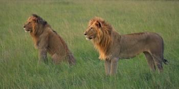 lions, kenya, africa, masai mara