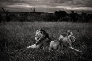 lion, masai mara, kenya, africa