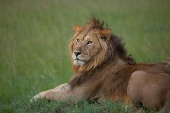 lion, kenya, masai mara, africa