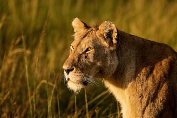 lioness, africa, kenya, masai mara