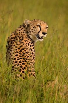 cheetah, masia mara, africa