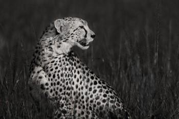 cheetah, masai mara, kenya, africa