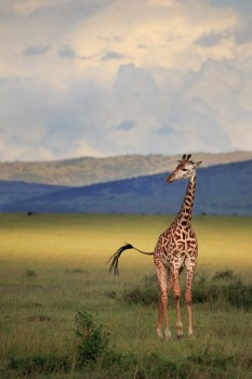 Giraffa camelopardalis tippelskirchi, masai, giraffe, kenya, africa