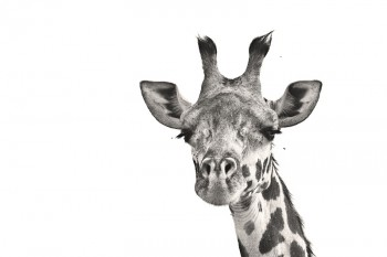Masai Giraffe, Giraffa camelopardalis tippelskirchi