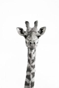 Masai Giraffe, Giraffa camelopardalis tippelskirchi, mara, kenya, africa