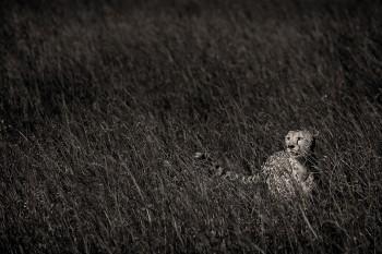 masai mara, kenya, africa, cheetah
