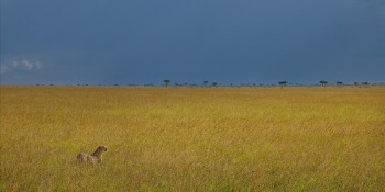 cheetah, masai mara, kenya, africa, grassland