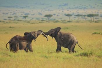 elephants, masai mara, kenya, africa