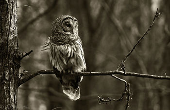 Radnor Lake State Park, Tennessee, barred owl, tennessee