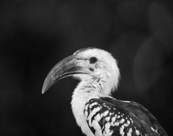 Red-billed Hornbill, Tockus erythrorhynchus, samburu, kenya, africa