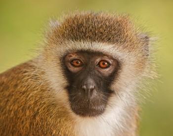 Chlorocebus pygerythrus, vervet monkey, samburu, kenya, africa