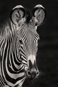 grevys zebra, equus grevyi, kenya, samburu, africa