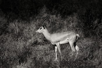 Grant's gazelle, Nanger granti, samburu, kenya, africa