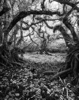 Big Cypress National Preserve, Florida, pond apple,
