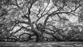 Charleston, South Carolina, angel oak,
