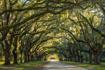 Wormsloe Plantation, Savannah, Georgia, oaks