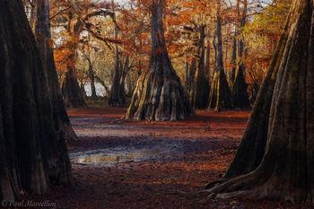 Suwannee Valley, Florida, fall, cypress