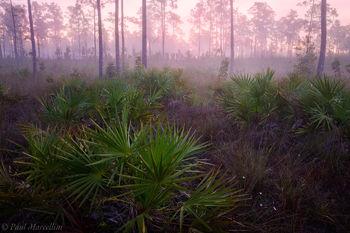 Everglades National Park, Florida, pine rocklands, pinelands, pastel, sunrise