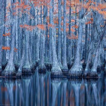 cypress, swamp, fall,