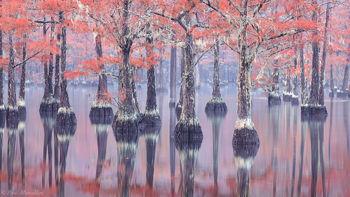 cypress, southeast us, swamp, fall,