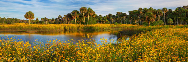 Little Big Econ State Forest, Florida, Helianthus angustifolius, Econlockhatchee river, south florida, nature, photography