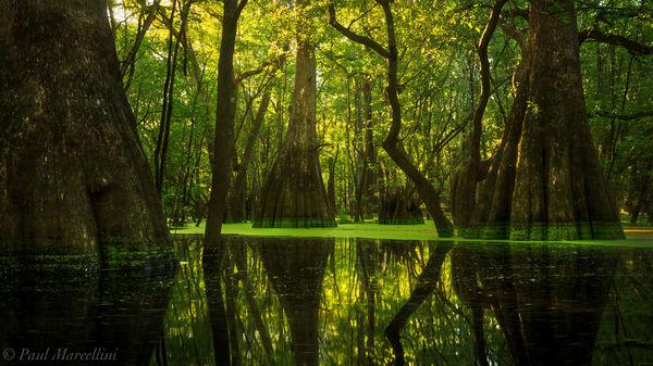 cypress, floodplain, , florida, north florida, nature, photography