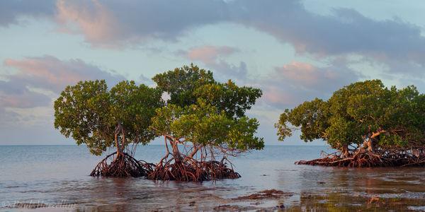 mangroves, sunrise, Big Pine Key, Florida Keys, Florida, , keys, south florida, nature, photography