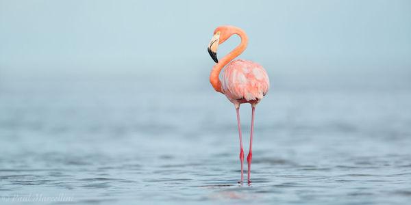 Phoenicopterus ruber, american flamingo, everglades national park, florida bay