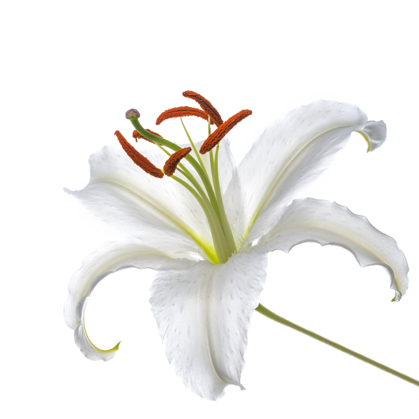 lily, white, flora, floral, photo