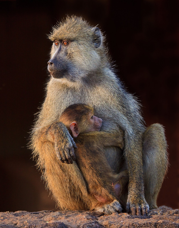 Yellow Baboon, Papio cynocephalus, amboseli, kenya, africa, photo