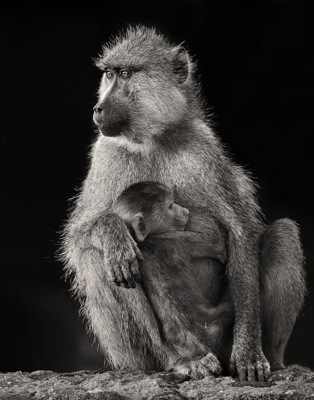 Papio cynocephalus, yellow baboon, amboseli, kenya, africa, photo