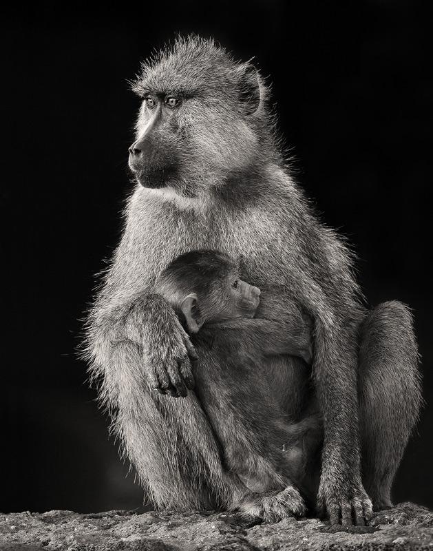 Papio cynocephalus, yellow baboon, amboseli, kenya, africa, photo