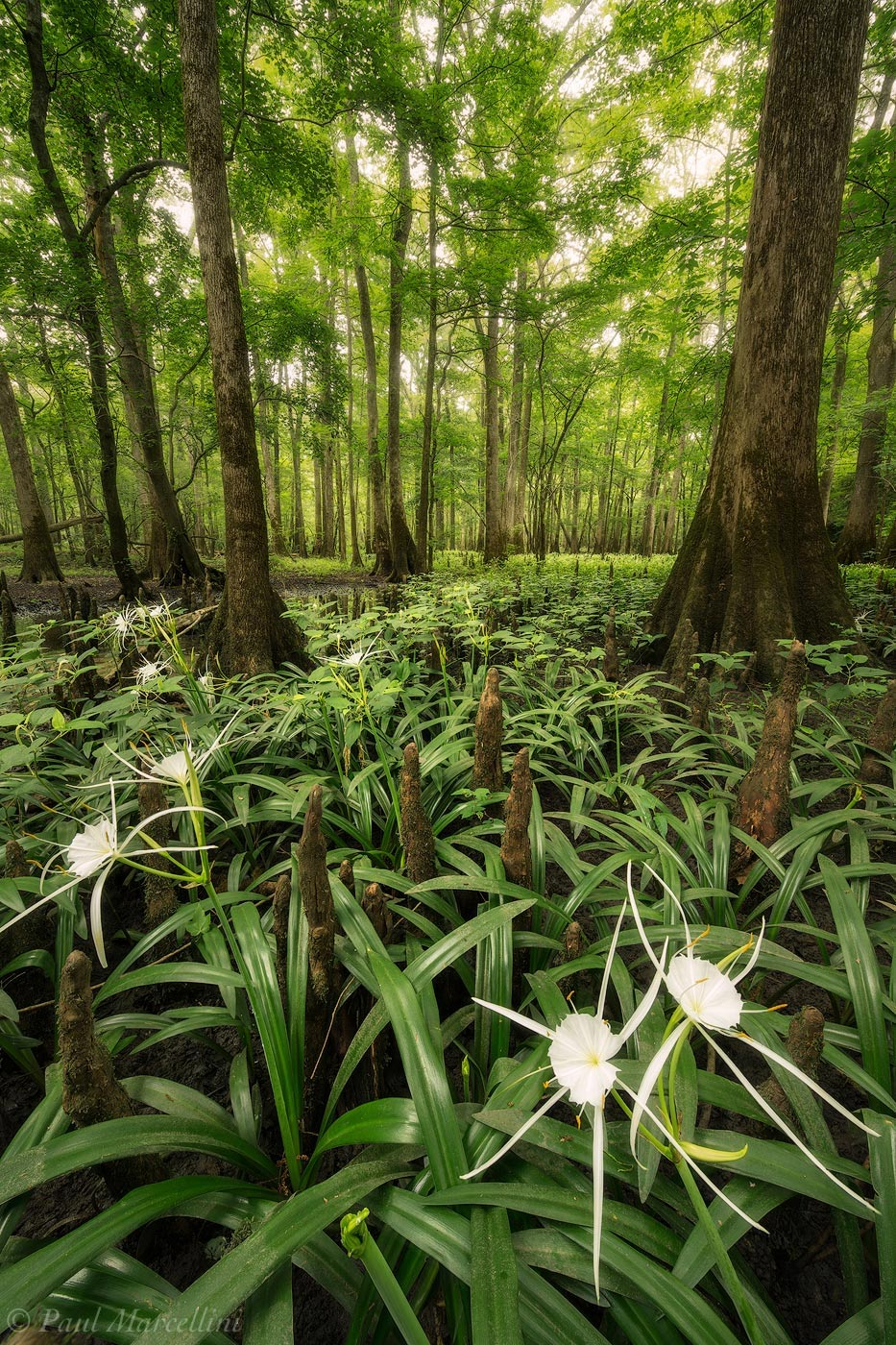 Chipola River, Floodplain, Florida Caverns State Park, FL, lilies, cypress, Florida Panhandle Spiderlily, Hymenocallis choctawensis, florida, north florida, nature, photography, photo