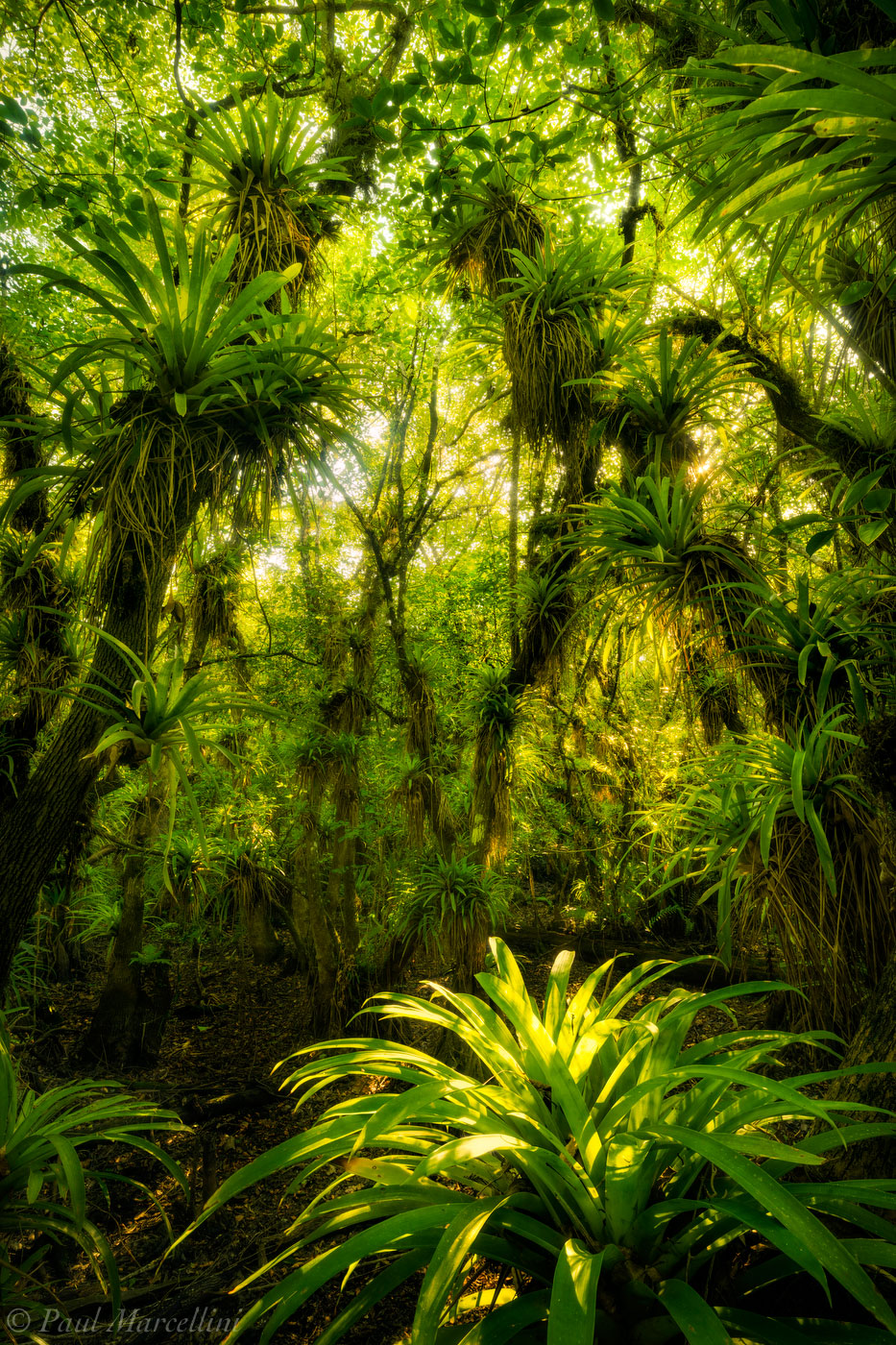 Fakahatchee Strand Preserve State Park, Florida, north america, jungle, epiphyte, nature, photography, photo