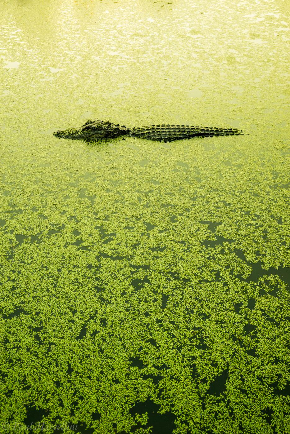 alligator, sunset, duckweed, Fakahatchee Strand Preserve State Park, Florida, lake, photo