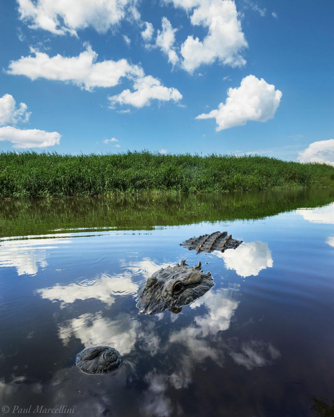 Myakka river state park, alligator, clouds, florida, photo