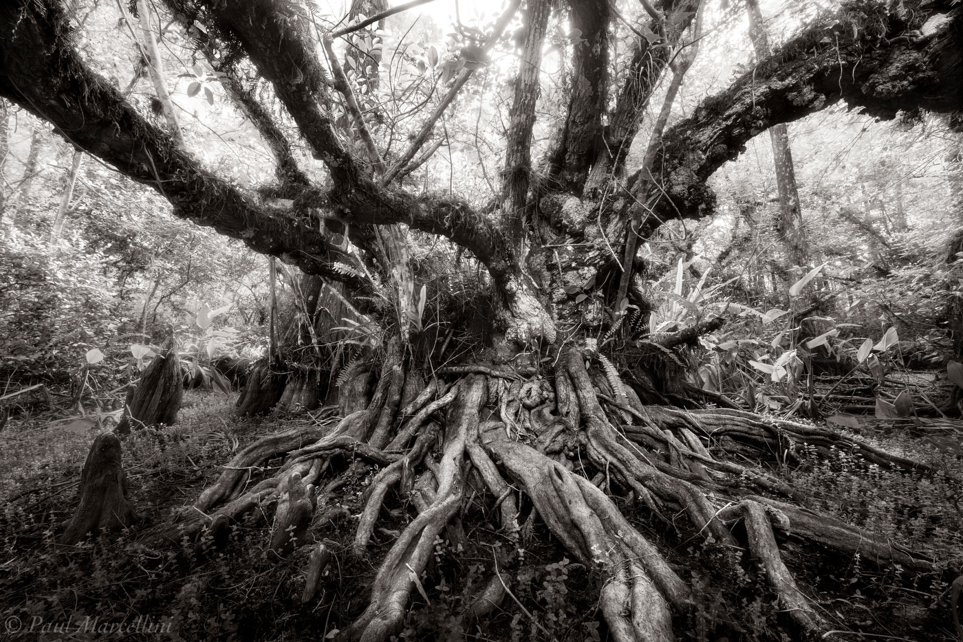 pond apple, big cypress national preserve, florida, nature, photography, photo