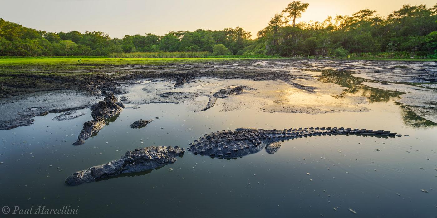 robert's lake, big cypress national preserve, alligator, gator, swamp, photo