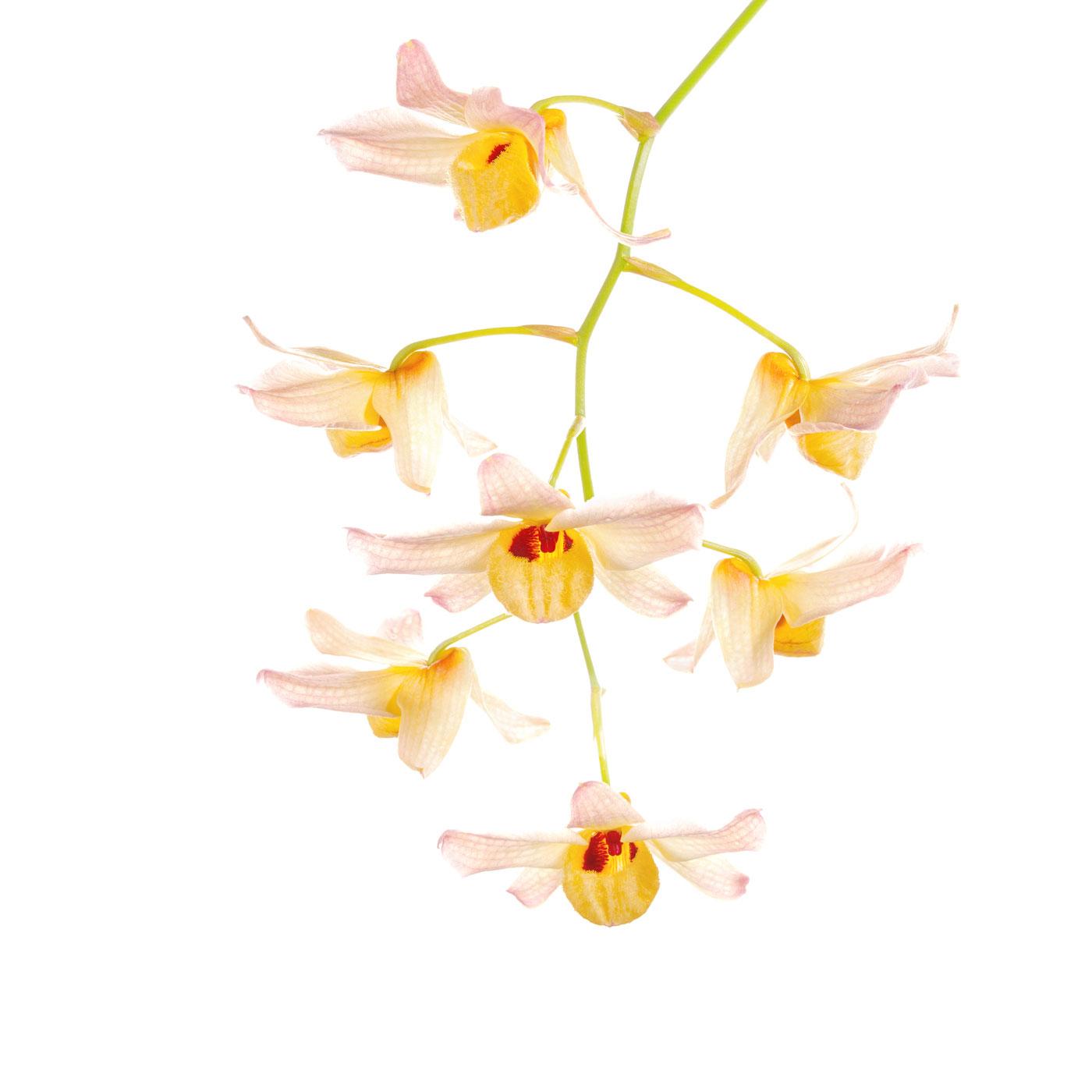 Dendrobium moschatum, orchid, photo